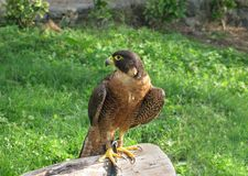 Peregrine Falcon. Close up over a tree trunk. These are the fastest birds in the world and the fastest animal on the planet. Faster than a skydive freefall Stock Photography