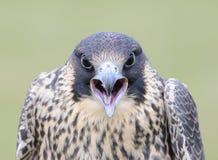 Peregrine Falcon Imagen de archivo libre de regalías