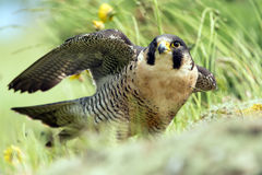 Peregrine Falcon Fotos de Stock