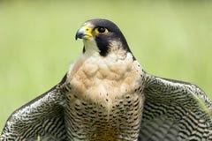 Peregrine Falcon Images libres de droits