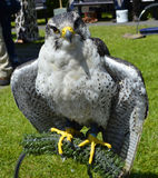 Peregrine Falcon Fotografia de Stock Royalty Free