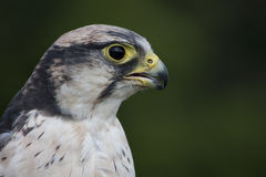 Peregrine Falcon Royalty-vrije Stock Foto's