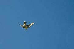 Peregrine Falcon Photo libre de droits
