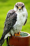 Peregrine Falcon Royalty Free Stock Photos