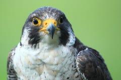 Peregrine Falcon Immagini Stock Libere da Diritti