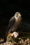 Peregrine Falcon Royalty-vrije Stock Foto