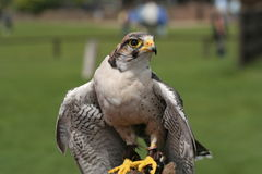 Peregrine falcon. Picture of a Peregrine falcon Royalty Free Stock Photos