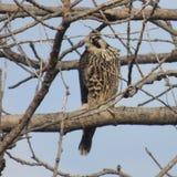 Peregrine Falcon Immagine Stock Libera da Diritti