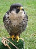 Peregrine Falcon Stock Afbeelding