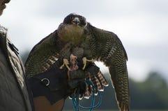 Peregrine Falcon Lizenzfreie Stockbilder