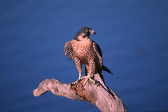 Peregrine falcon. Photographed in Montana against a blue lake Royalty Free Stock Photo