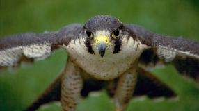 Free Peregrine Falcon Stock Photography - 6314702