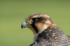 Peregrine Falcon. Portrait of a Peregrine Falcon Stock Photography