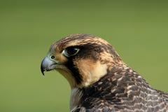 Peregrine Falcon. Close up of a Peregrine Falcon (Falco peregrinus stock image