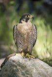 Peregrine Falcon Photo stock