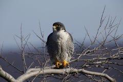 Peregrine Falcon Fotografie Stock Libere da Diritti