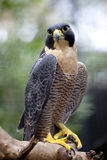 Peregrine Falcon Royalty Free Stock Image