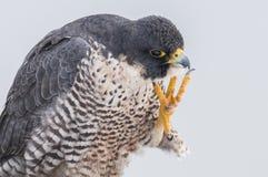 Peregrine Falcon Foto de Stock