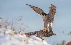 Peregrine Falcon Fotografia de Stock