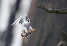 Peregrine Falcon Imagens de Stock