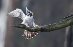 Peregrine Falcon fotos de stock royalty free