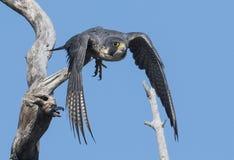 Peregrine Falcon Imagens de Stock Royalty Free