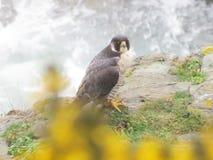 Peregrine Falcon Stockbilder