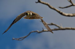 Peregrine Falcon Images stock