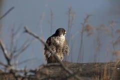 Peregrine Falcon Immagini Stock