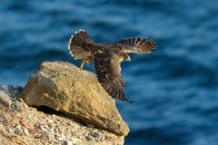 Peregrine Falcon Immagine Stock