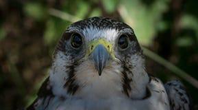 Peregrine Falcon affronta immagine stock