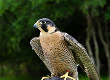 Peregrine Falcon, aka Duck Hawk Royalty Free Stock Images