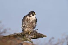 Peregrine Falcon appollaiata su un arto morto Fotografia Stock