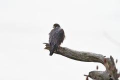 Peregrine Falcon appollaiata su un arto morto Immagine Stock