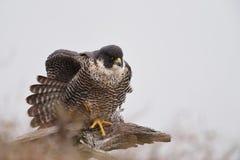 Peregrine Falcon appollaiata su un arto morto Fotografie Stock Libere da Diritti
