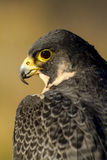 Peregrine Falcon in Autumn Setting Stockfotos