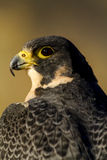 Peregrine Falcon in Autumn Setting Stockbild