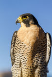 Peregrine Falcon in Autumn Setting Lizenzfreie Stockbilder