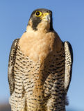 Peregrine Falcon in Autumn Setting Stockfotos