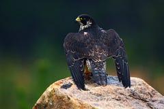 Peregrine Falcon, ave rapaz que se sienta en la piedra en la roca, retrato en el hábitat de la naturaleza, Alemania del detalle W Imágenes de archivo libres de regalías