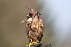 Peregrine Falcon avec le capot photographie stock libre de droits