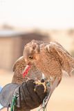 Peregrine falcon - Bedouin settlement - Al Maha - UAE. One of the peregrine falcons used to hunt quail and other desert birds. They are the fastest animals in royalty free stock image
