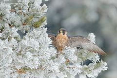 Peregrine Falcon, Bird of prey with fly snow sitting on the white rime pine tree with dark green forest in background, action sce. Ne in the nature tree habitat stock images