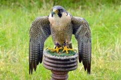 Peregrine Falcon - bird of prey - Mantling on it's perch Royalty Free Stock Photo