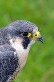 Peregrine Falcon - bird of prey - Side portrait Stock Images