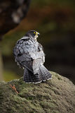 Peregrine Falcon, bird of prey  sitting on the stone in the rock, detail portrait in the nature habitat, Germany Royalty Free Stock Photos