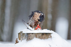 Peregrine Falcon, bird of prey sitting on the tree trunk with open wings during winter with snow, Germany. Falcon witch catch dove Stock Image