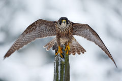 Peregrine Falcon, Bird of prey sitting on the tree trunk with open wings during winter with snow, Germany. Wildlife scene from sno royalty free stock photos