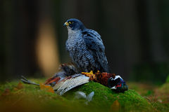 Peregrine falcon with catch Pheasant. Beautiful bird of prey Peregrine Falcon feeding kill big bird on the green moss rock with da Royalty Free Stock Image