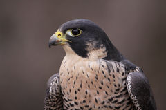 Peregrine Falcon Close-Up Stock Photos
